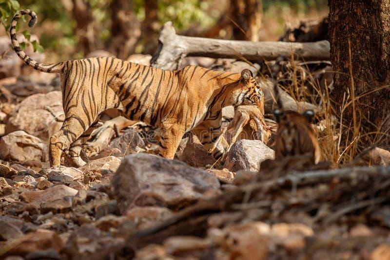 Tigerkvinnlig efter jakt i ett härligt ljus i naturlivsmiljön av den Ranthambhore nationalparken royaltyfria bilder