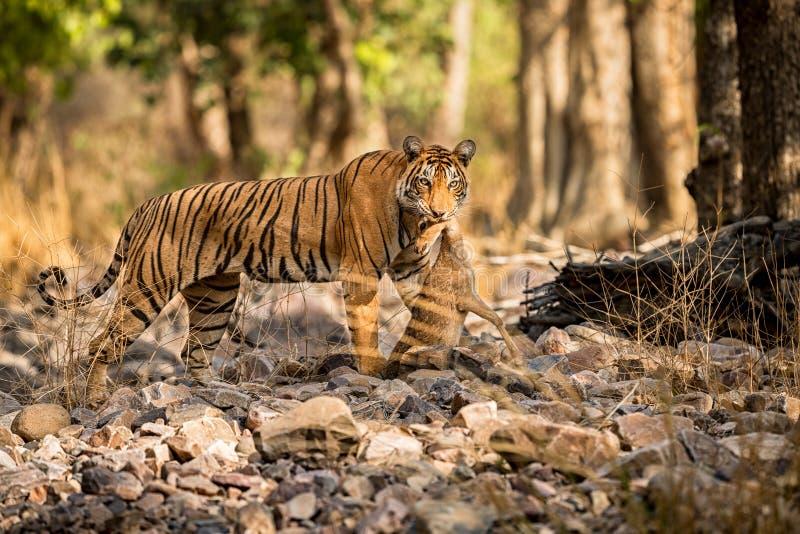 Tigerkvinnlig efter jakt i ett härligt ljus i naturlivsmiljön av den Ranthambhore nationalparken royaltyfri bild
