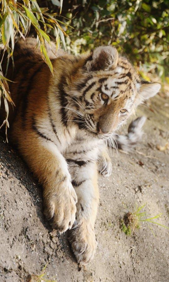 Tigerleben lizenzfreies stockfoto