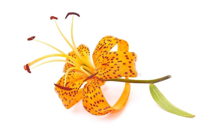 Tigerlilie lizenzfreies stockfoto