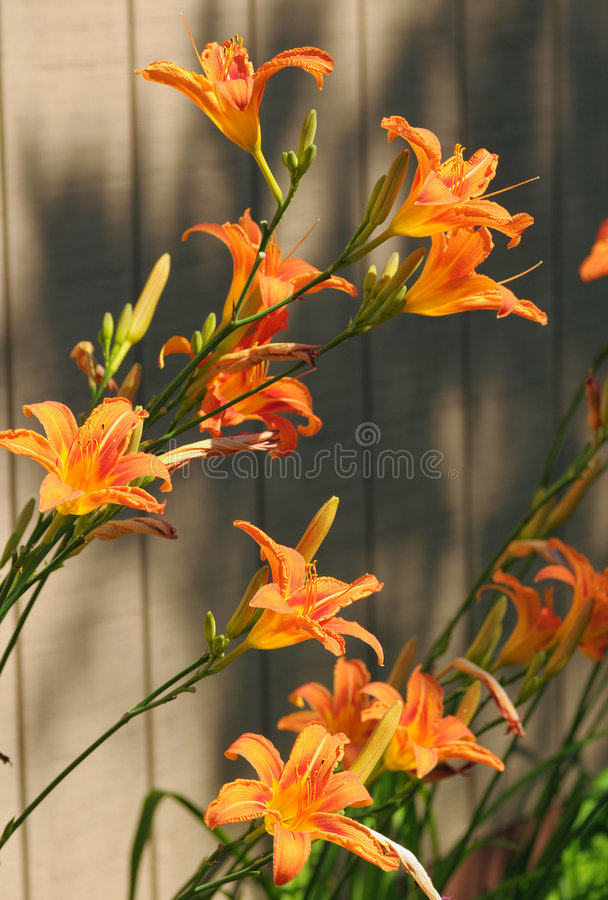 Tigerlilien stockfotografie