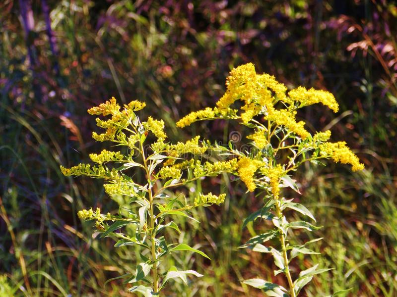 Tigerlilybloemen die in Tuin groeien royalty-vrije stock foto