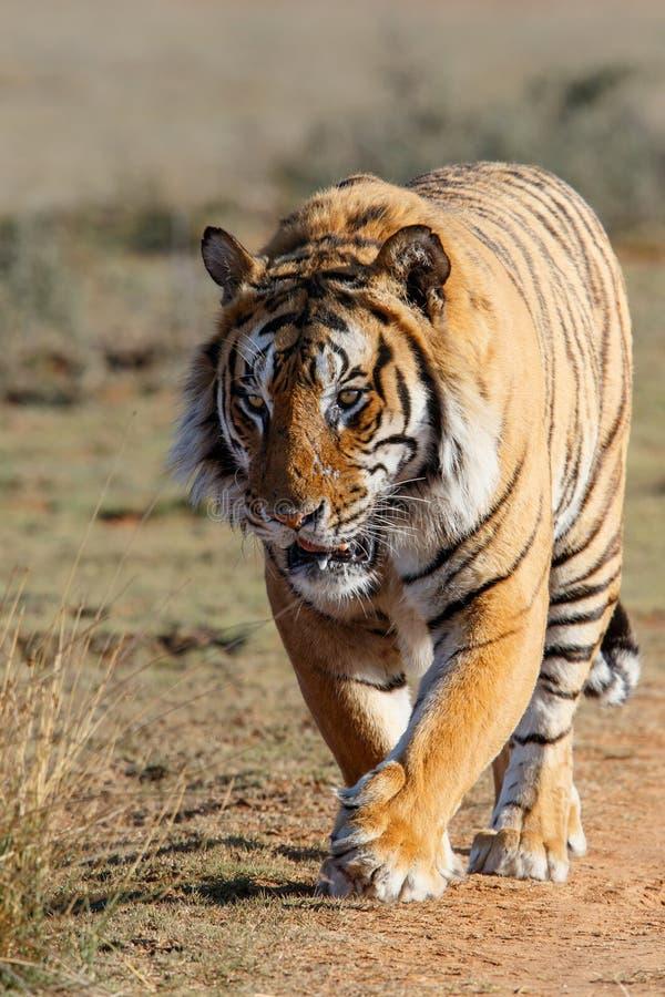 Tigermann in der Spielreserve in Südafrika lizenzfreies stockfoto