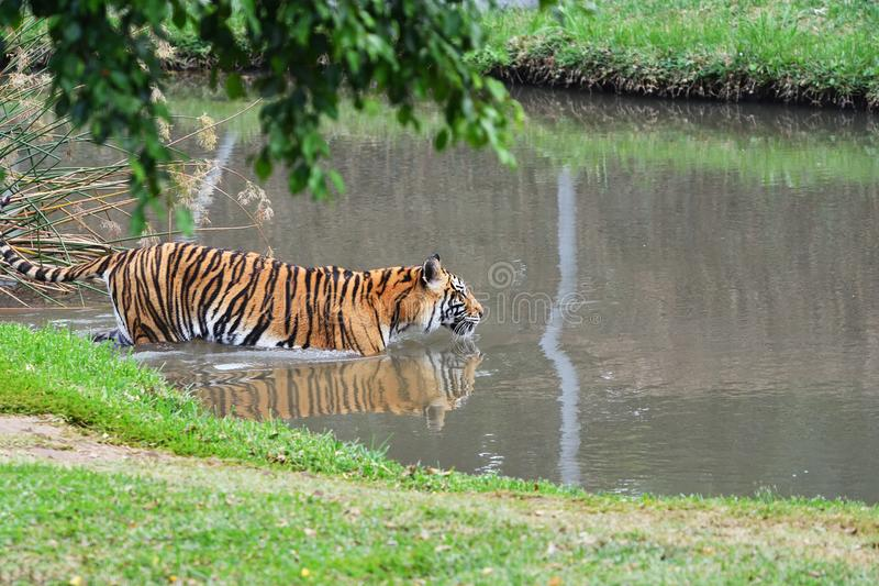 Tigern bevattnar in royaltyfri bild