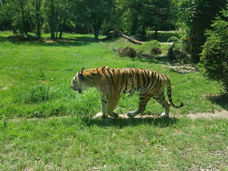 Tigern im parkerar arkivbilder