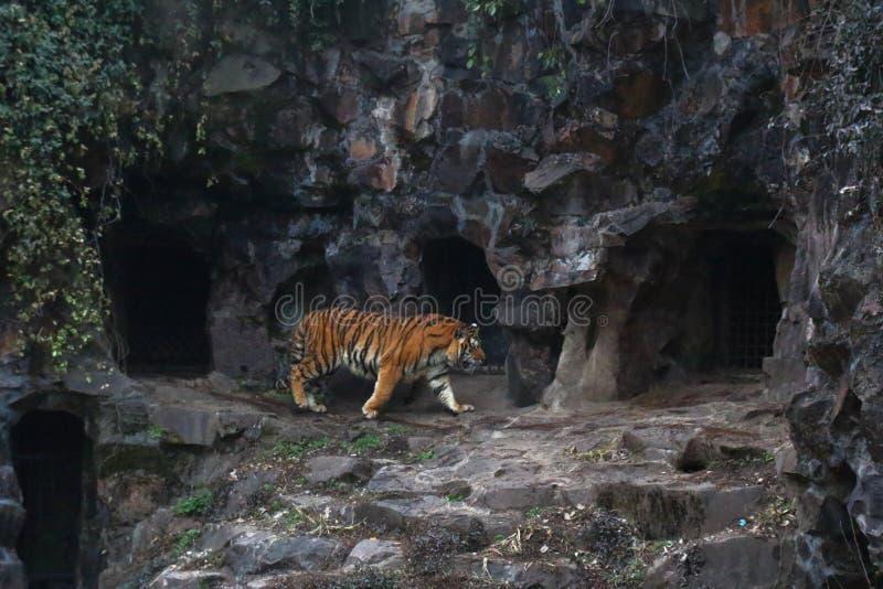 Tigern och grottan royaltyfri foto