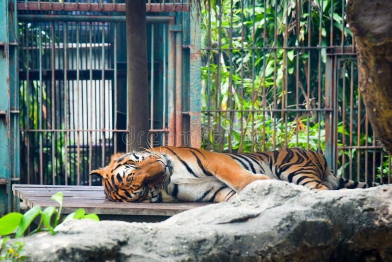 Tigern som sover på, vaggar i zoo på Thailand arkivfoton