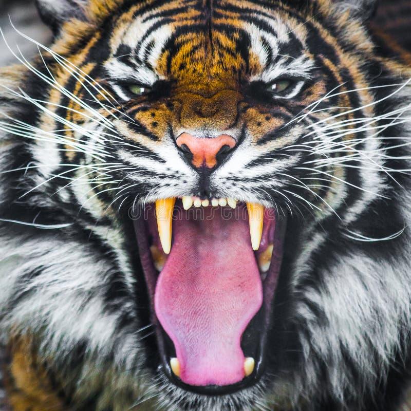 Tigern vrålar att brumma royaltyfri fotografi