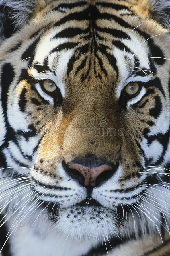 Tigernahaufnahme des Gesichtes stockfotos
