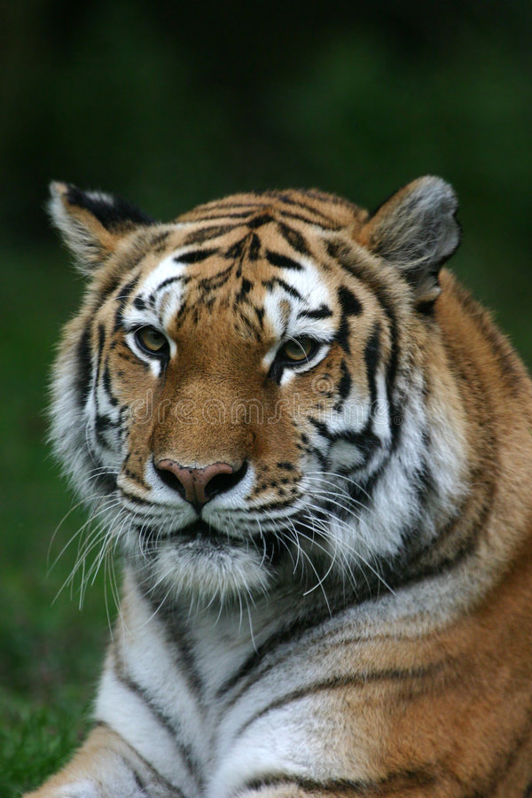 Tigerportrait lizenzfreie stockfotos