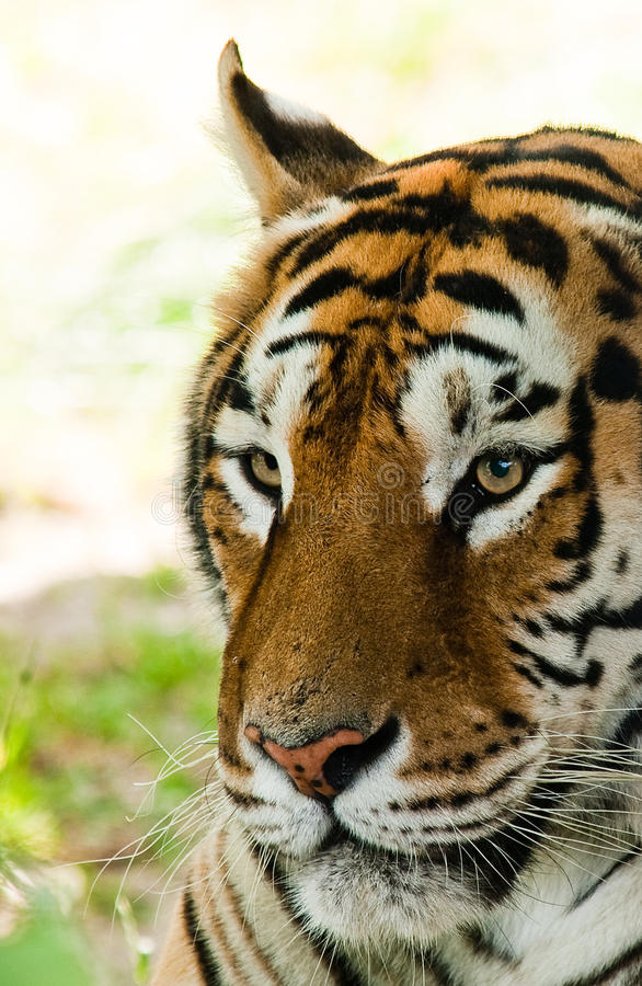 Tigerportrait lizenzfreies stockbild
