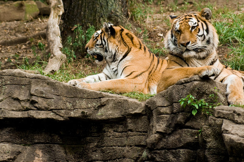 Tigers. Two tigers on top of a rock stock photo