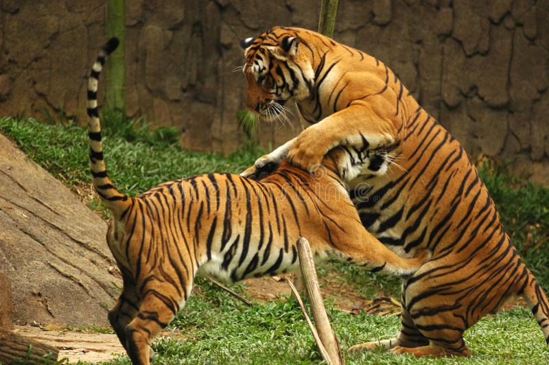 Download Tigers stock photo. Image of wild, cats, marauder, malaysia - 16939614