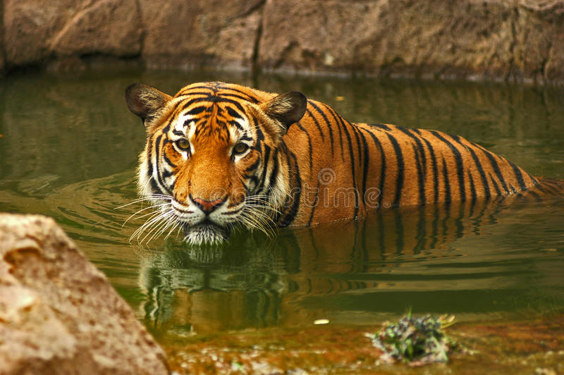 Download Tigers stock image. Image of nose, orange, cats, three - 16939715