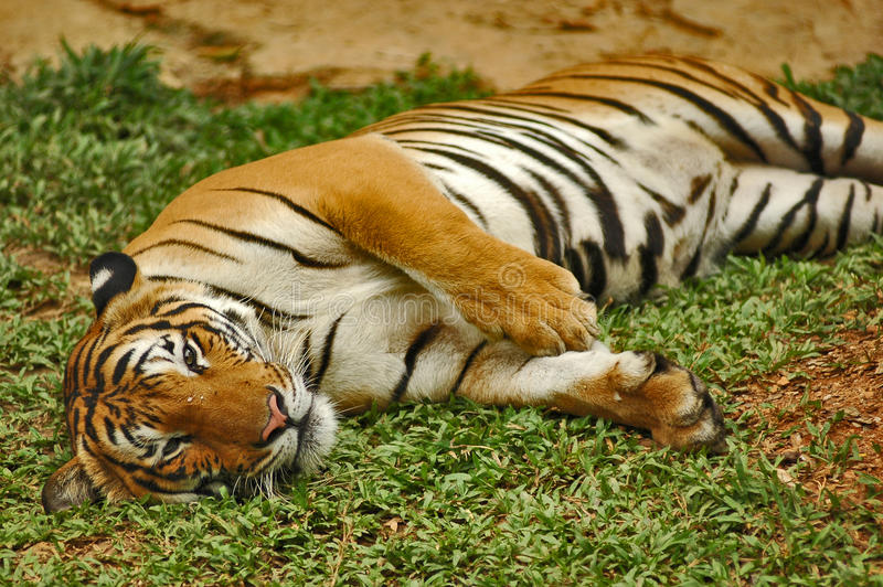 Download Tigers stock photo. Image of nature, sumatran, portrait - 16939888