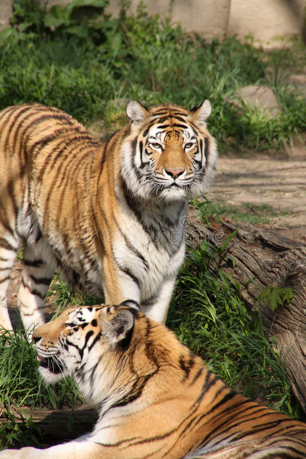 Free Tigers Stock Images - 5038514
