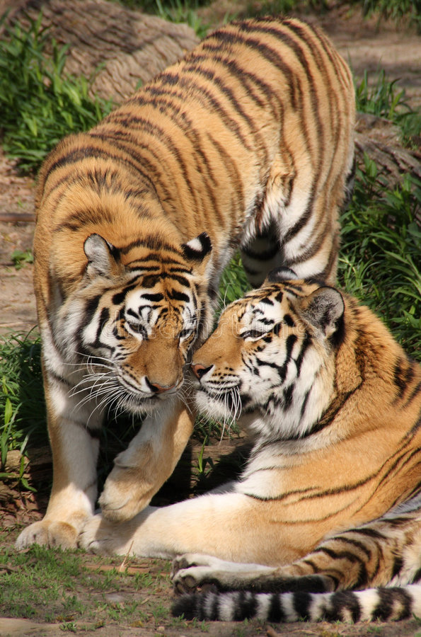 Free Tigers Stock Images - 5038524