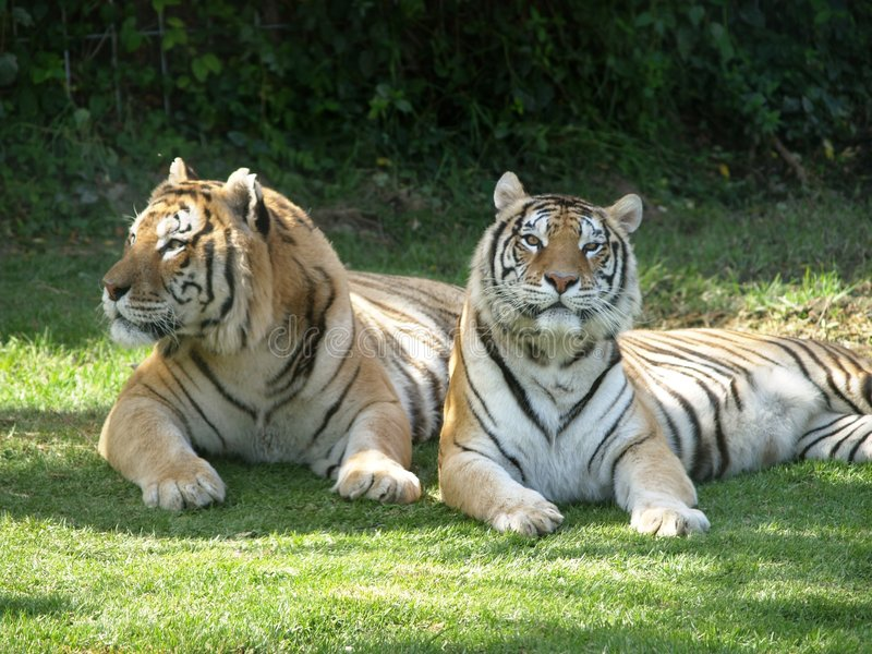 Tigers. Couple of Tigers together relaxing in the shade on a sunny day