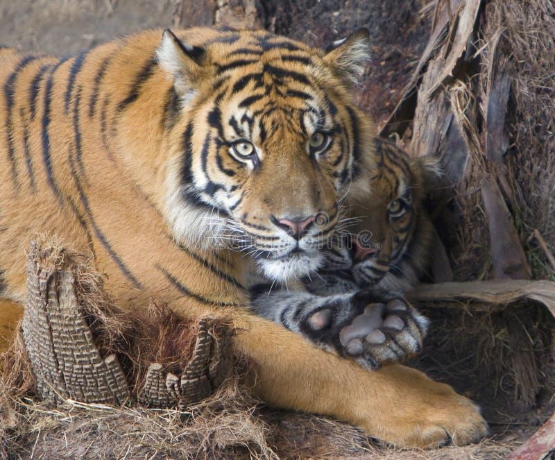 Download Tigers stock image. Image of play, attack, carnivore, predator - 8177821
