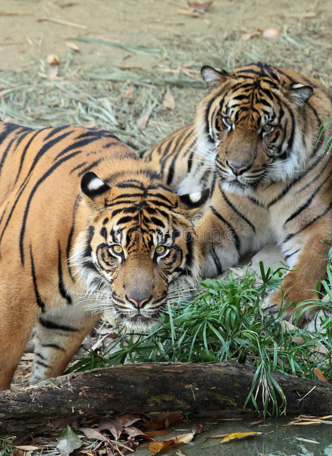 Tigers. Endangered Sumatran Tigers In Shade royalty free stock image