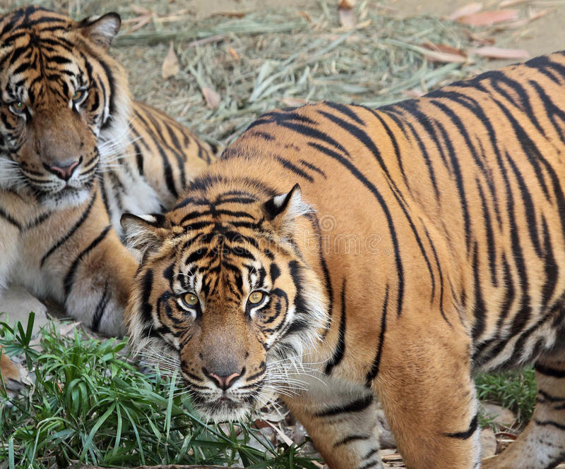 Tigers. Endangered Sumatran Tigers In Shade royalty free stock photo