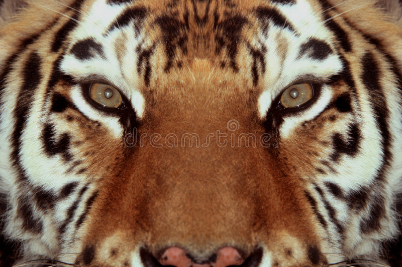 Tigers face close-up stock photography