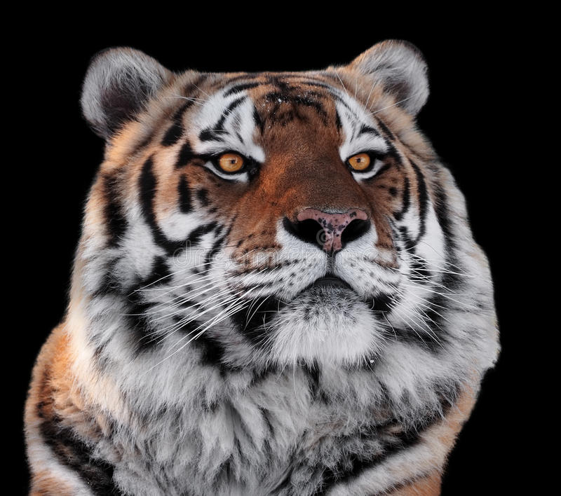 Tigers head with yellow eyes close-up isolated on black stock photos