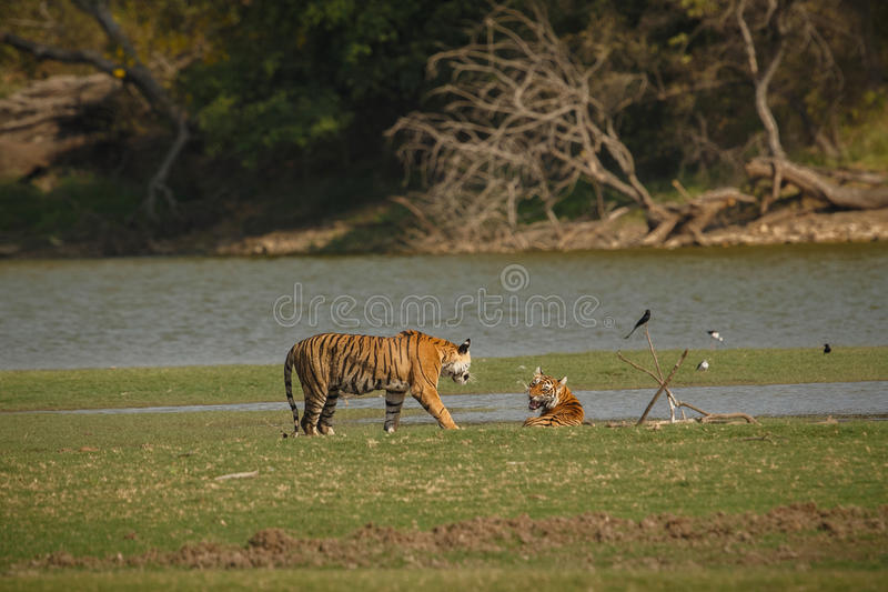 Tigers in the indian nature. /wild animal in the nature habitat/India, big cats, endangered animals, what a look, close up, royal bengal tiger royalty free stock image