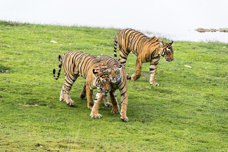 TIGERS. Ranthambore National Park is famous for tigers situated near Sawai Madhopur , Rajasthan, India. Where T-19 Krishna and her three cubs were seen near lake royalty free stock photos