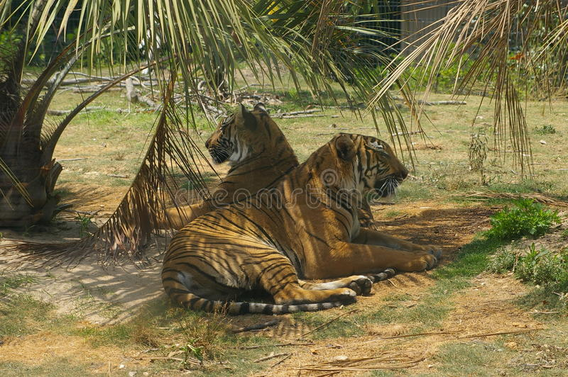 Tigers resting. In their enclosure in a zoo stock photo