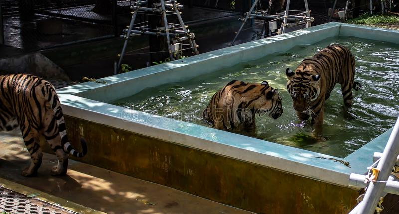 Tigers at Pool Sids royalty free stock photo