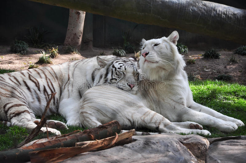 Tigers. Two white tigers in a habitat royalty free stock images