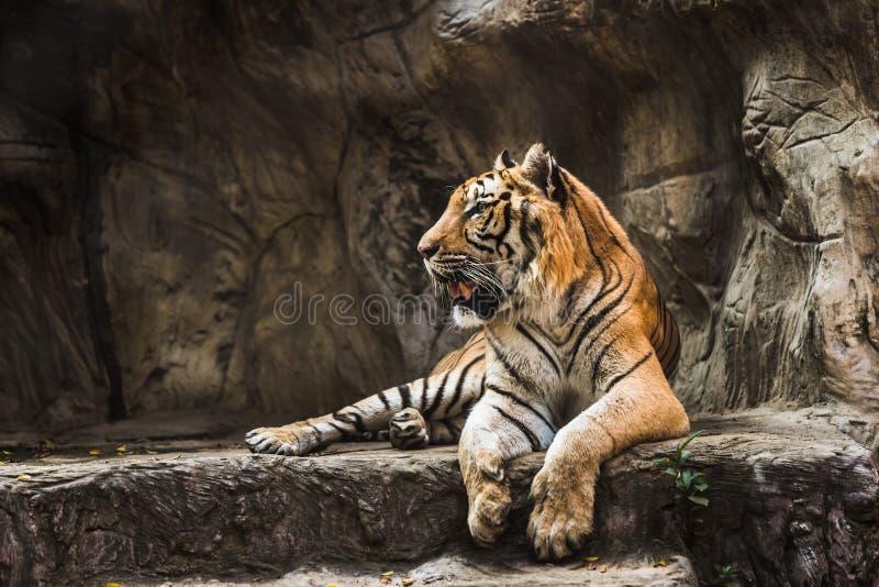 Tigersammanträde i en zoo royaltyfri bild