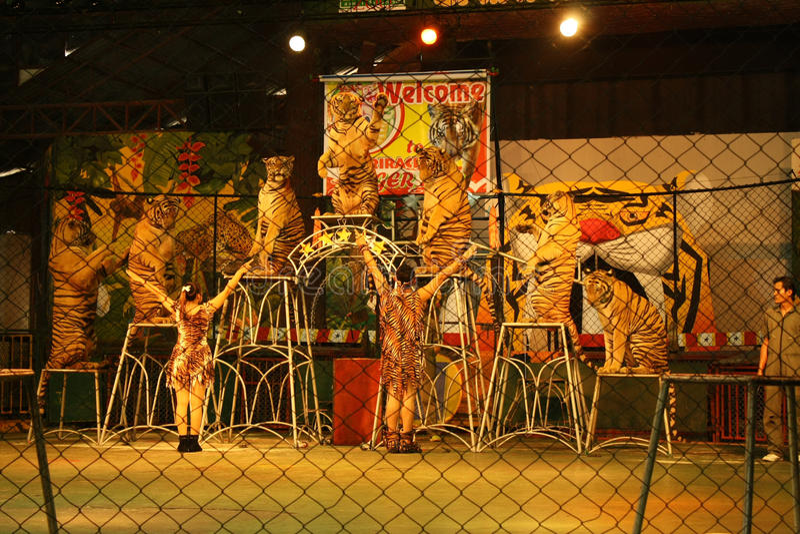 Tigershow arkivfoton
