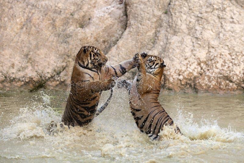 Tigerspiel stockbild