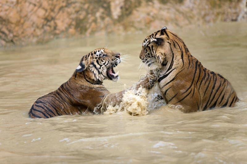 Tigerspiel lizenzfreie stockfotografie