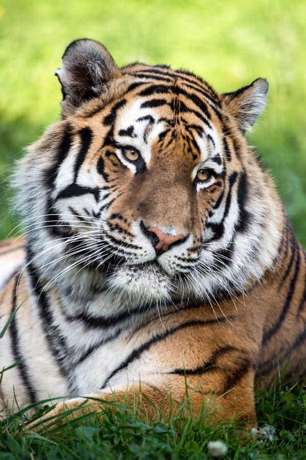 Tigerstående royaltyfri foto