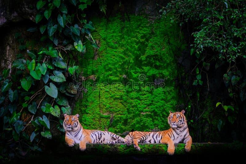 Tigerstående av en bengal tiger arkivfoton