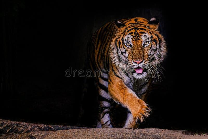 Tigerstående av en bengal tiger i Thailand på svart bakgrund royaltyfri bild