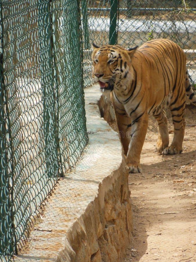 Tigertiger stockfotos