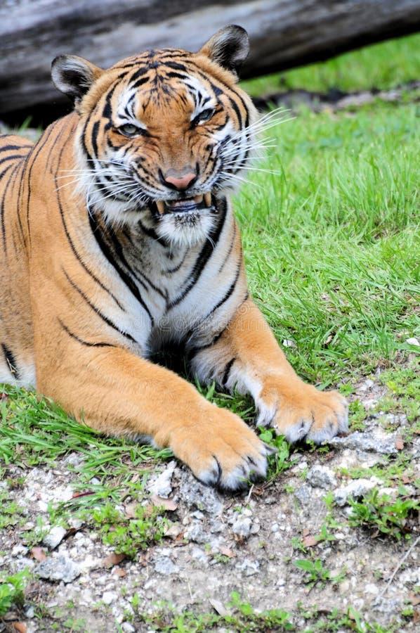 Tigervisningtänder arkivbild