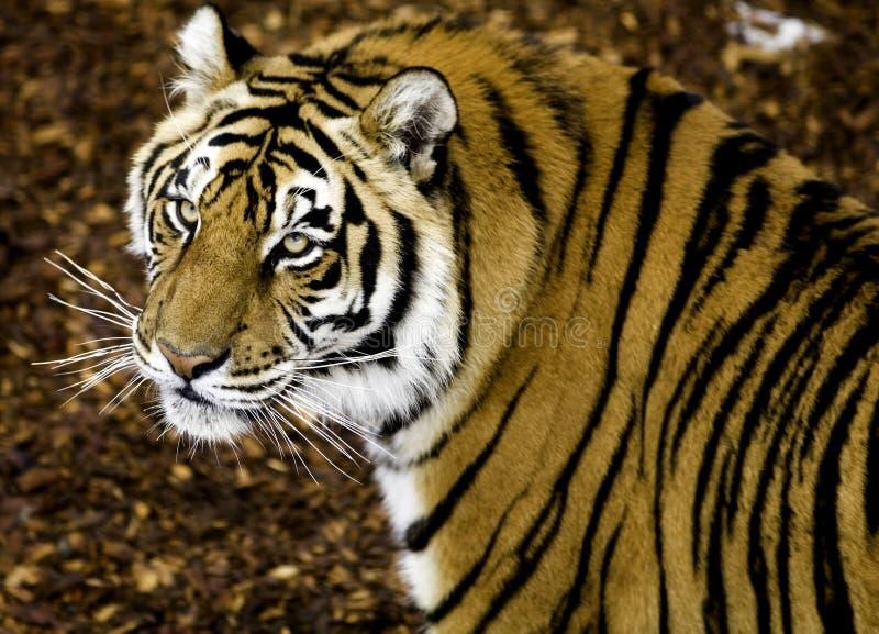 tigerwatch arkivfoton