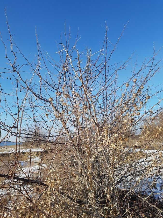 Tiges épineuses minces d'un buisson sec photographie stock libre de droits