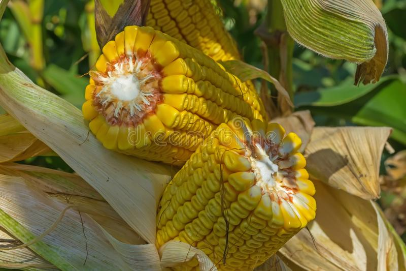 Tiges cassées et épaisses de maïs mûr dans le domaine avant la moisson 20 rangées des grains photographie stock libre de droits