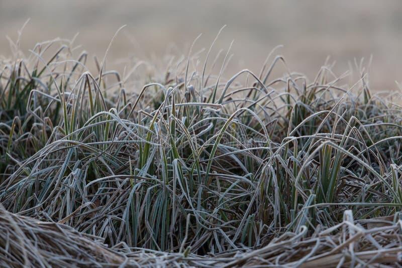 Tiges congelées d'herbe dans le pré en hiver image libre de droits