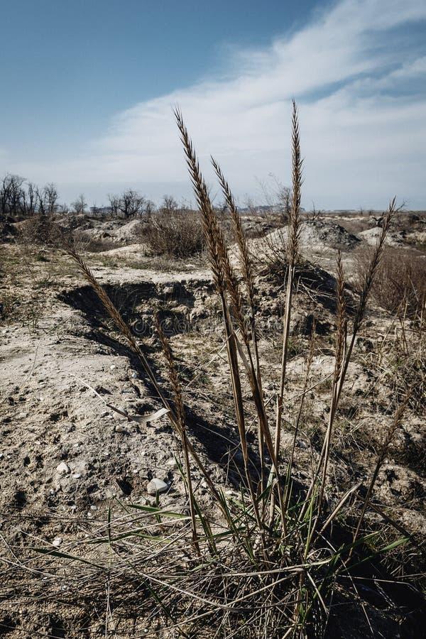Tiges d'herbe sèche sur un fond arénacé image libre de droits