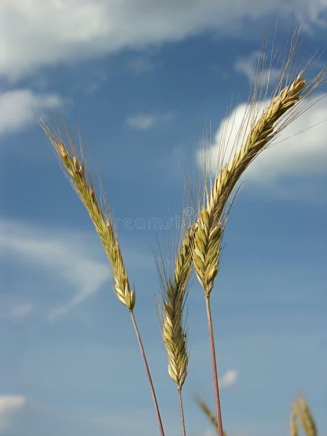 Tiges de blé photo libre de droits