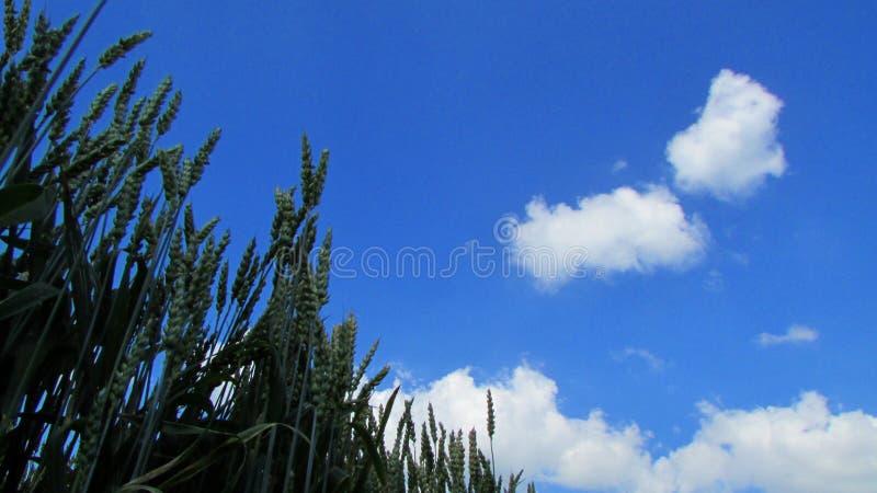 Tiges de blé sur un fond de ciel bleu et de nuages blancs images stock