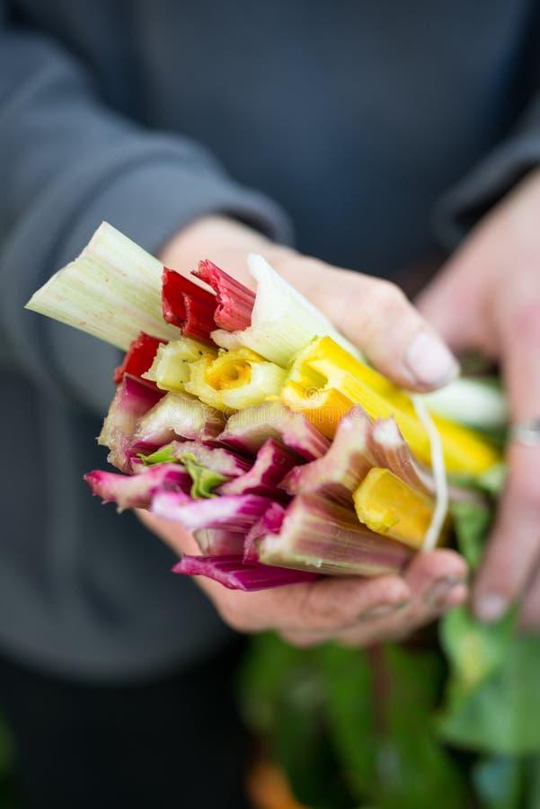 Tiges de Holding Colourful Chard de jardinier photo libre de droits