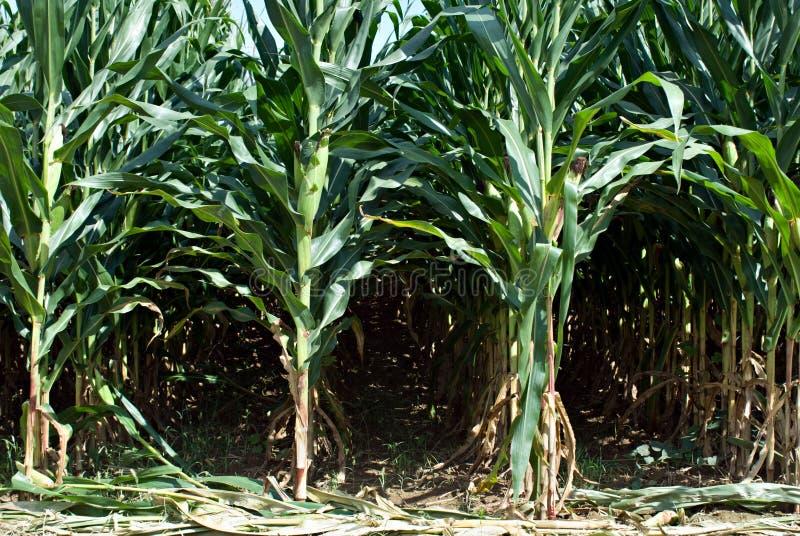Tiges de maïs images stock